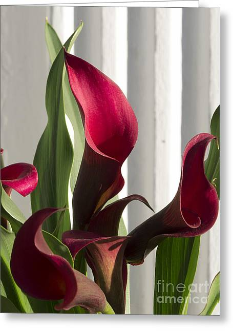 Red Cala Lilies Greeting Card