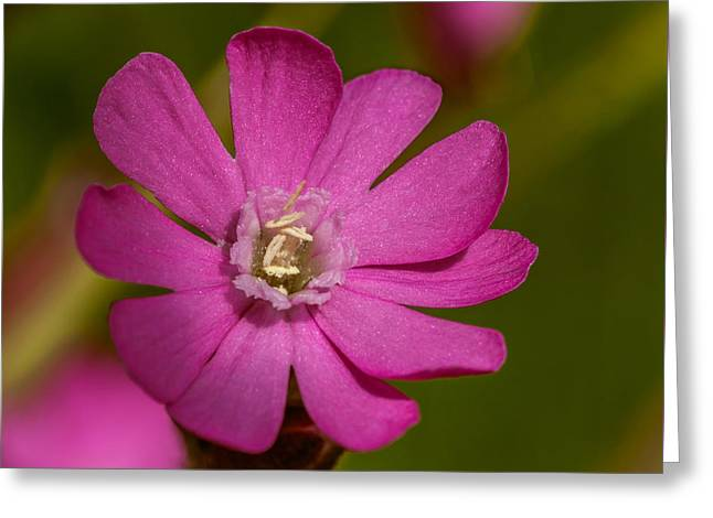 Red Campion Greeting Card