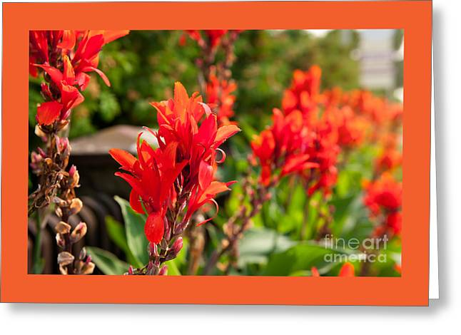 Red Canna Lily Flowering Greeting Card by Arletta Cwalina