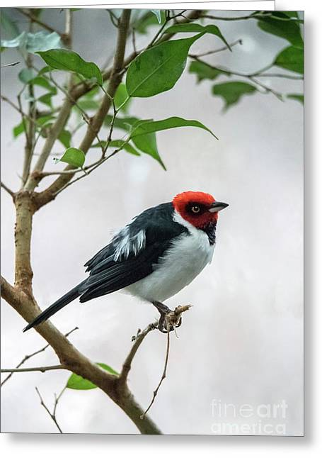 Red Capped Cardinal 2 Greeting Card