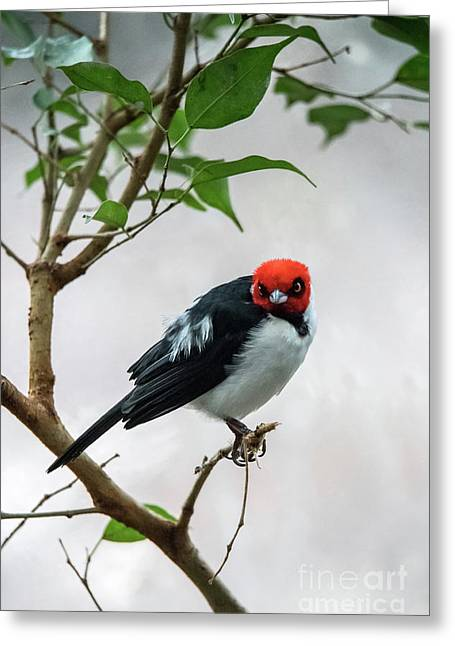 Red Capped Cardinal Greeting Card