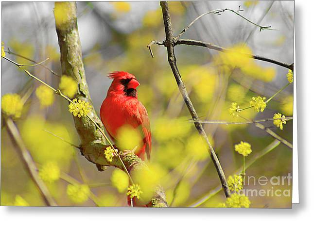 Greeting Card featuring the photograph Red Cardinal Among Spring Flowers by Charline Xia