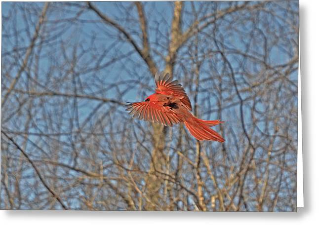 Red Cardinal's Eye-view Greeting Card by Asbed Iskedjian