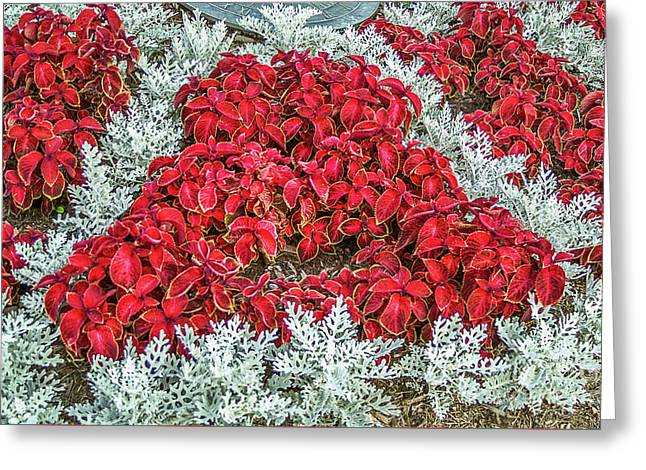 Red Coleus And Dusty Miller Plants Greeting Card