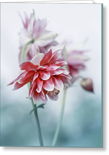 Red Columbines Greeting Card