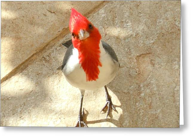 Red-crested Cardinal At My Feet Greeting Card