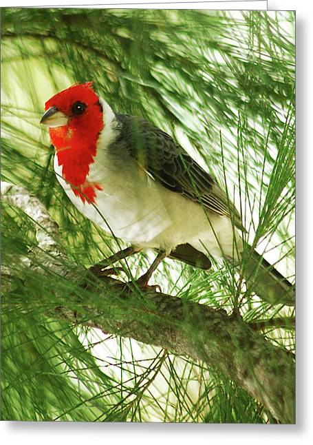 Cardinals. Wildlife. Nature. Photography Greeting Cards - Red Crested Cardinal Greeting Card by Michael Peychich