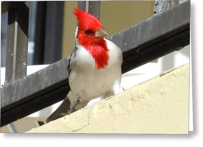 Red-crested Cardinal Posing On The Balcony Greeting Card