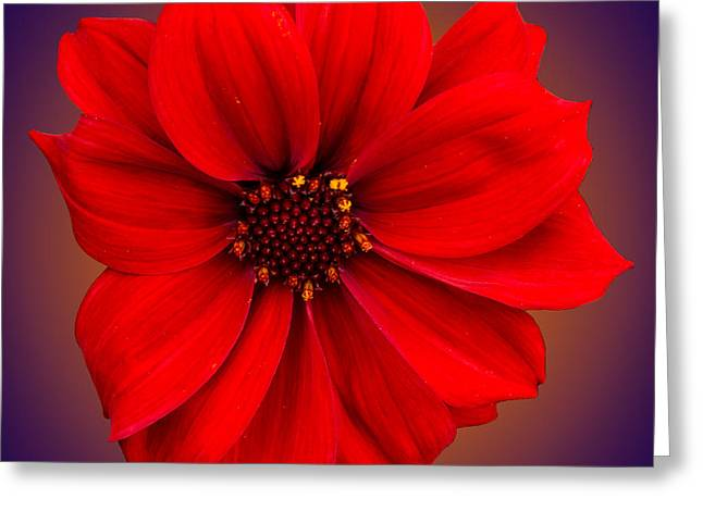 Greeting Card featuring the photograph Red Dahlia-bishop-of-llandaff by Brian Roscorla