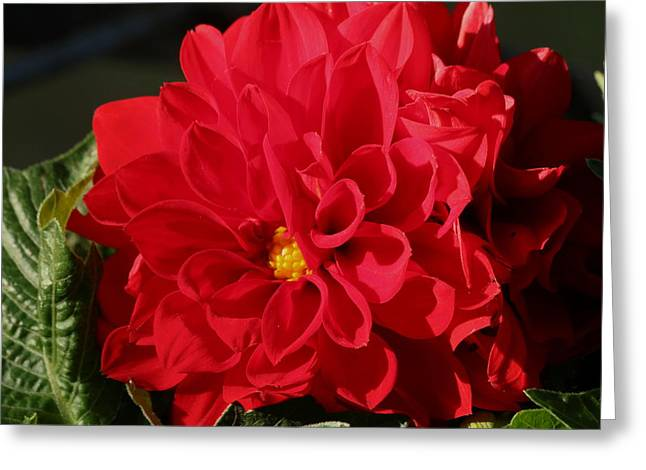 Greeting Card featuring the photograph Red Dahlia Macro by Sheila Brown