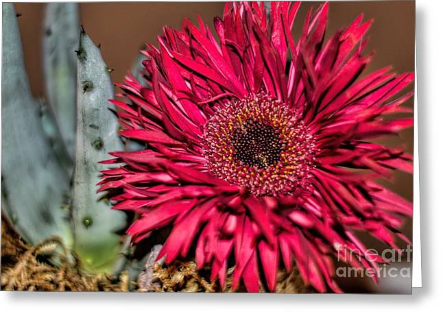 Greeting Card featuring the photograph Red Daisy And The Cactus by Diana Mary Sharpton