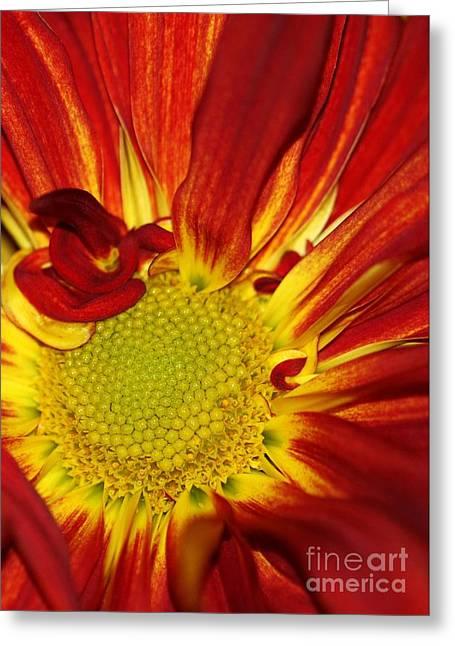Red Daisy Greeting Card by Sabrina L Ryan