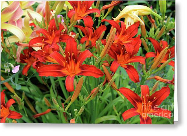Red Daylilies Greeting Card