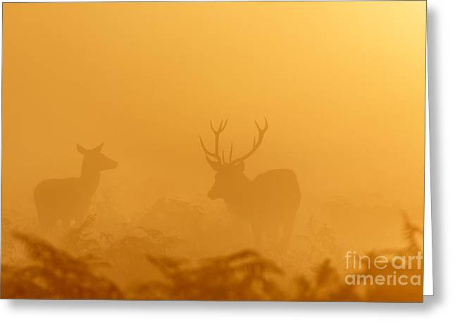 Red Deer At Sunrise Greeting Card
