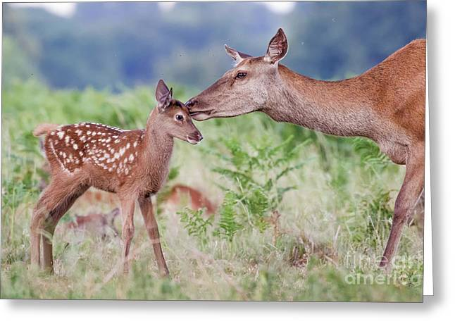 Red Deer - Cervus Elaphus - Female Hind Mother And Young Baby Calf Greeting Card