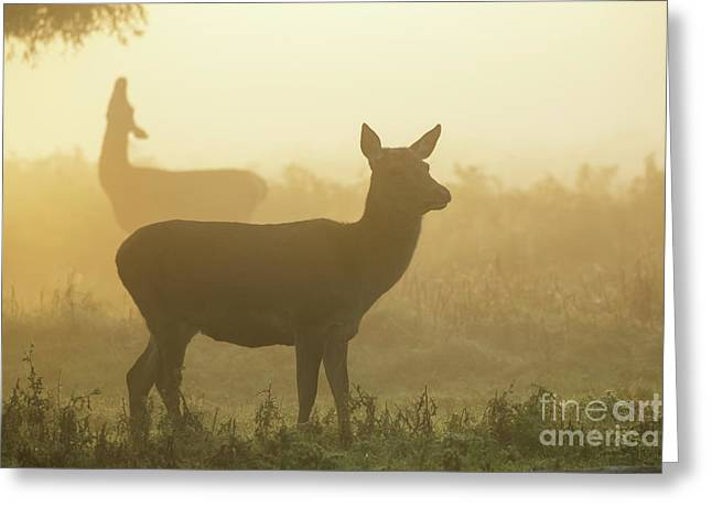 Red Deer - Cervus Elaphus - Hinds Browsing On Willow On A Misty M Greeting Card