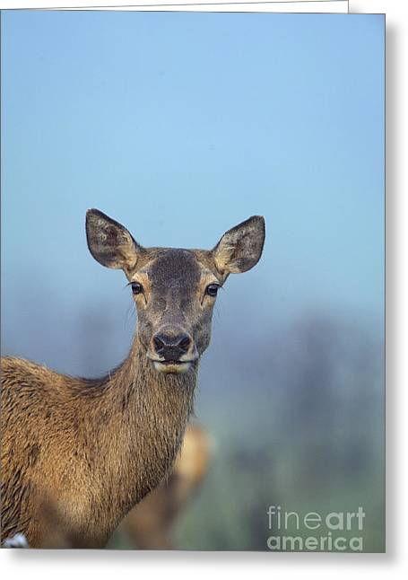 Red Deer, Germany Greeting Card by David & Micha Sheldon