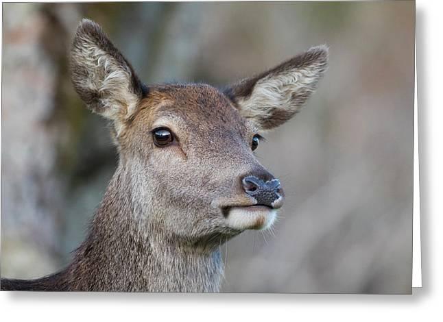 Greeting Card featuring the photograph Red Deer Hind - Scottish Highlands by Karen Van Der Zijden