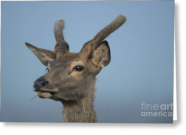 Red Deer In Germany Greeting Card by David & Micha Sheldon