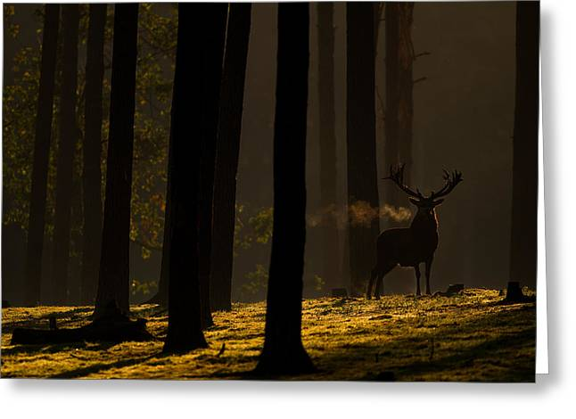Red Deer In Golden Light Greeting Card by Andy Luberti