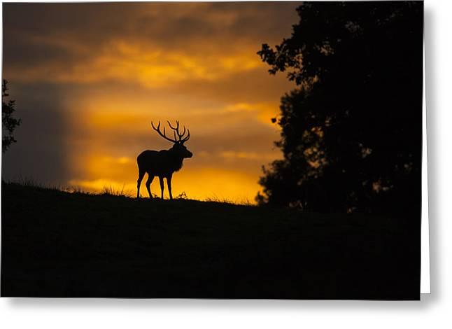 Red Deer Greeting Card by Sebastian Wasek