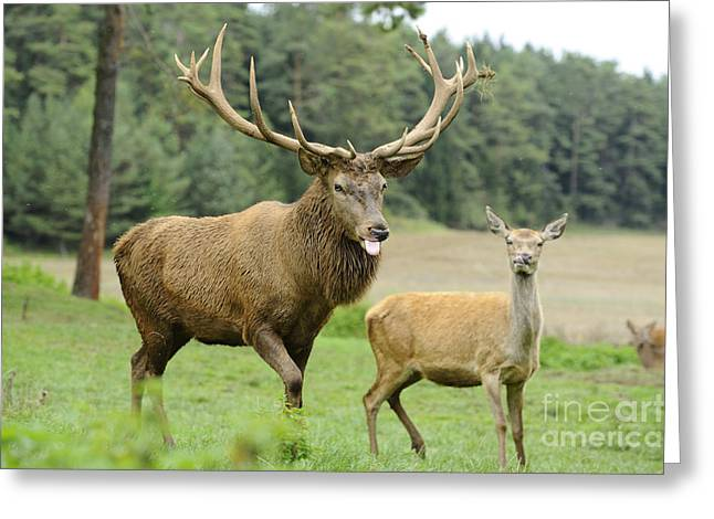 Red Deer Stag And Hind Greeting Card by David & Micha Sheldon