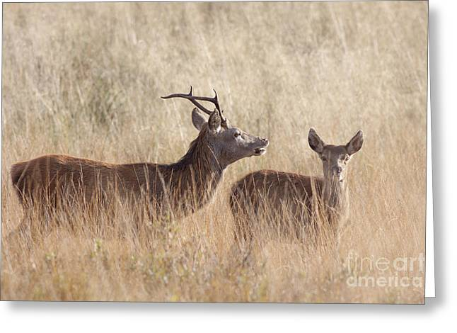 Red Deer Stag And Hind Greeting Card