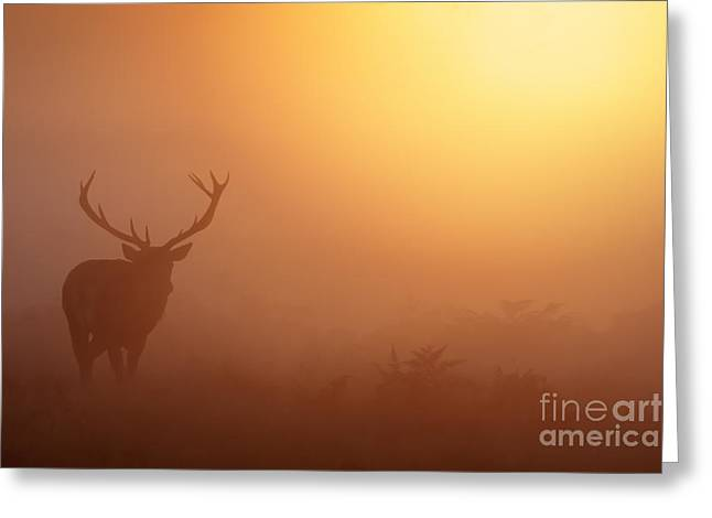 Red Deer Stag At Sunrise Greeting Card