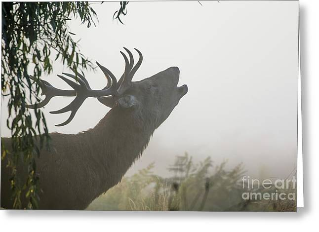 Red Deer Stag - Cervus Elaphus - Bellowing Or Roaring On A Misty M Greeting Card