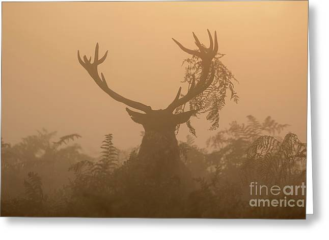 Red Deer Stag Cervus Elaphus Displaying At Sunrise With Bracken On Antlers Greeting Card