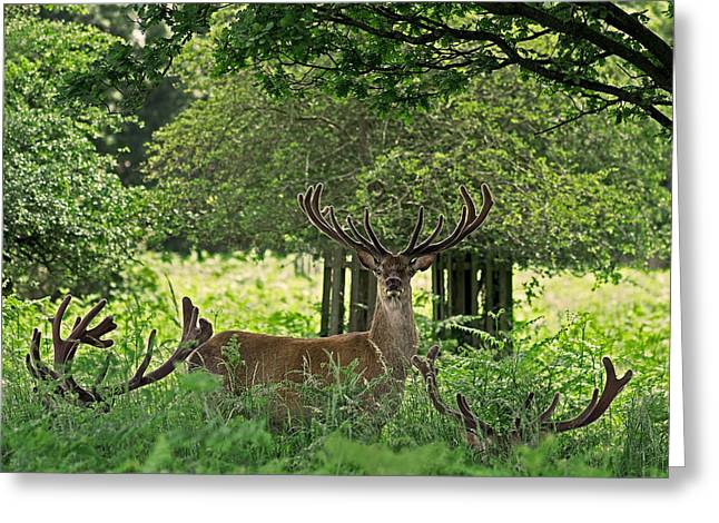 Red Deer Stag Greeting Card by Rona Black