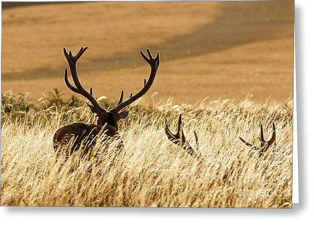 Red Deer Stags At Sunset Greeting Card