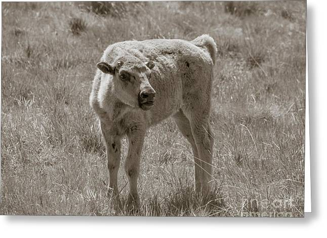 Greeting Card featuring the photograph Red Dog Buffalo Calf by Rebecca Margraf