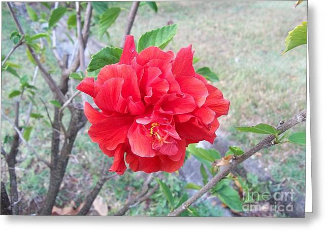 Red Double Hibiscus Greeting Card