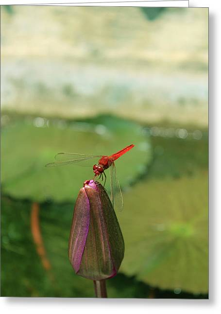 Red Dragonfly At Lady Buddha Greeting Card