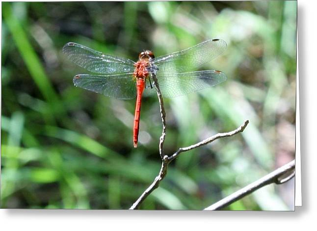 Greeting Card featuring the photograph Red Dragonfly by Karen Silvestri