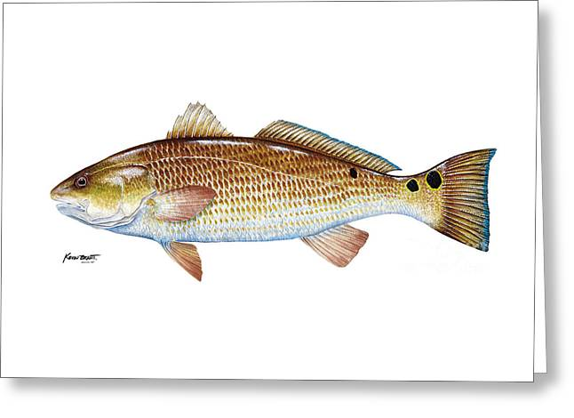 Red Drum  Redfish Greeting Card by Kevin Brant
