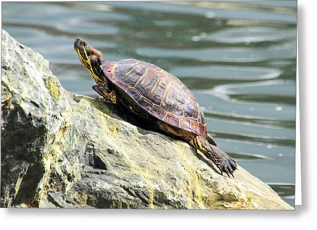 Red Eared Slider Turtle Greeting Card by Frank Wilson