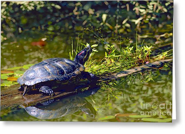 Red Eared Slider Turtle With Reflection Greeting Card by Sharon Talson