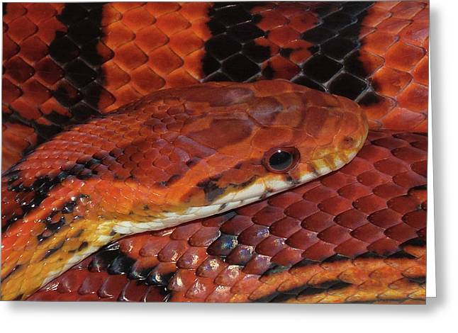 Red Eyed Snake Greeting Card