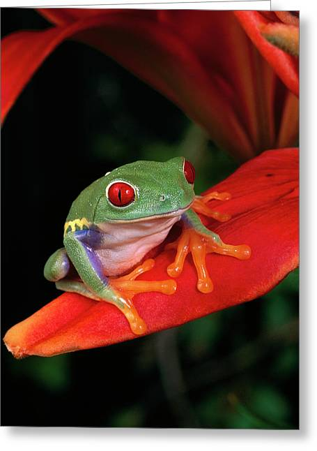 Red-eyed Tree Frog Agalychnis Greeting Card by Michael Durham