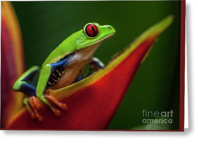 Red- Eyed Tree Frog Costa Rica 1 Greeting Card