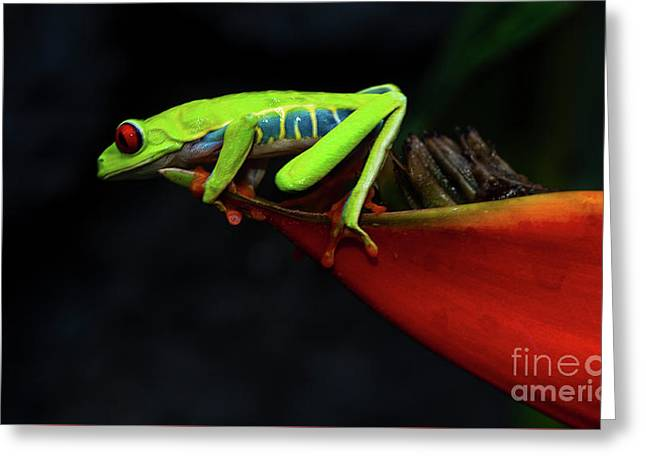Red Eyed Tree Frog Costa Rica 11 Greeting Card