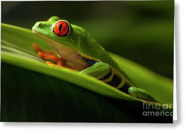 Red- Eyed Tree Frog Costa Rica 7 Greeting Card by Bob Christopher