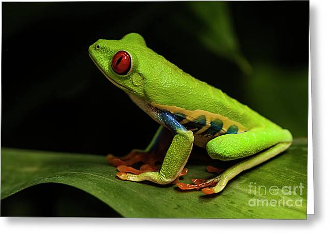 Red- Eyed Tree Frog Costa Rica 8 Greeting Card by Bob Christopher