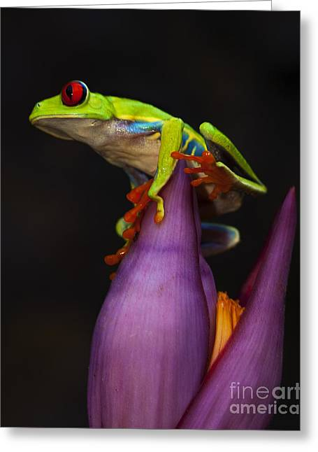 Red Eyed Tree Frog Costa Rica Greeting Card