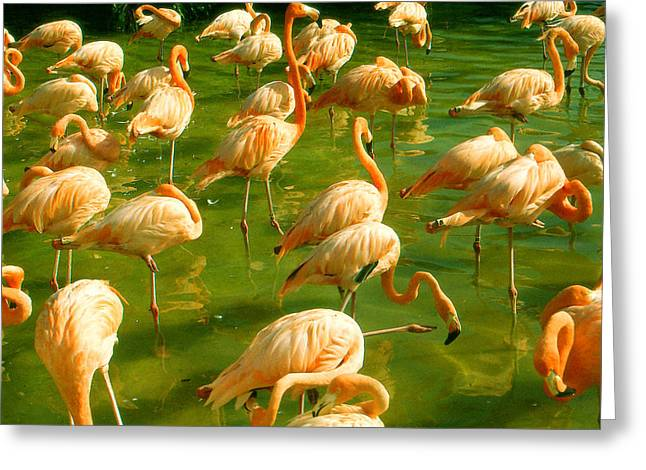 Red Florida Flamingos In Green Water Greeting Card