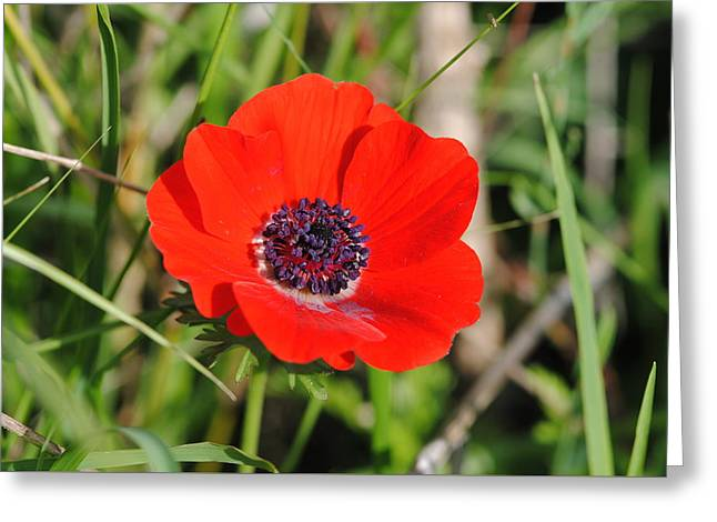 Red Anemone Coronaria 4 Greeting Card