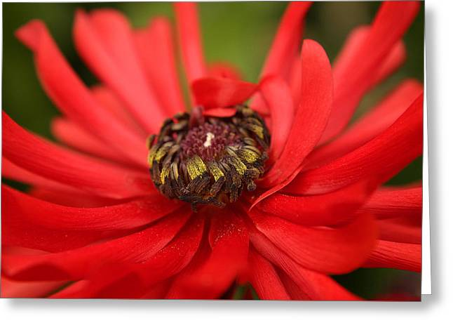 Red Flower Greeting Card by Ralph A  Ledergerber-Photography