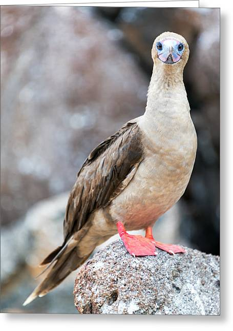 Red Footed Booby Vertical Greeting Card